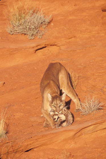 Mountain Lion or Cougar, (Felis concolor) Female carrying cub. Cayonlands of southern Utah.  Red rock country. Captive Animal.