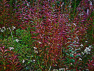 Autumn fireweed, pearly everlasting and huckleberry in the Tahoma State Forest in the Cascade Mountain Range of Washington state, USA