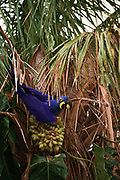 Hyacinth Macaw eating palm nuts<br />