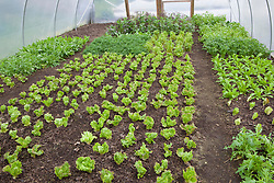 Salad leaves grown in a polytunnel at Charles Dowding's organic vegetable garden
