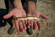 Juvenile Alligator Gar, Atractosteus spatula, caught in the Trinity River with a net and returned unharmed.