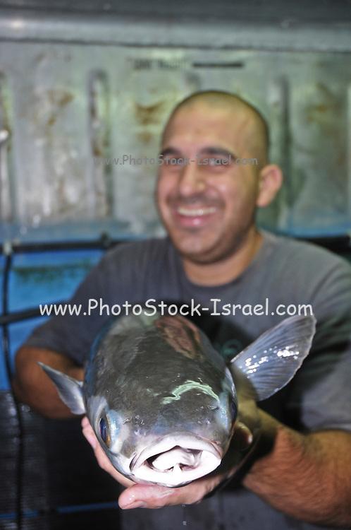 Israel, Coastal Plains, Kibbutz Maagan Michael, Man holding a large flathead mullet (Mugil cephalus) from the breeding school
