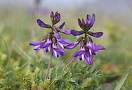 Astragalus alpinus subsp arcticus - Varanger, Norway