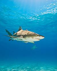 Lemon Sharks, Negaprion brevirostris, with sharksuckers, Echeneis naucrates, West End, Grand Bahama, Bahamas, Caribbean, Atlantic Ocean