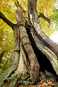 Nederland, Ubbergen, 3-11-2016Prachtige herfstdagen.Wandelen over de Elysese velden  en bij de oude kabouterboom in Beek . Oude,grote,boom,kastanje,kastanjeboom . De sprookjesachtige Kabouterboom wordt algemeen aangezien als de dikste boom van Nederland. Het is een tamme kastanjeFOTO: FLIP FRANSSEN
