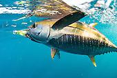 Tuna Stock Photos