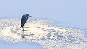 At 14 degrees this heron stands at first light to claim a fishing hole that won't warm up enough to open for several hours.