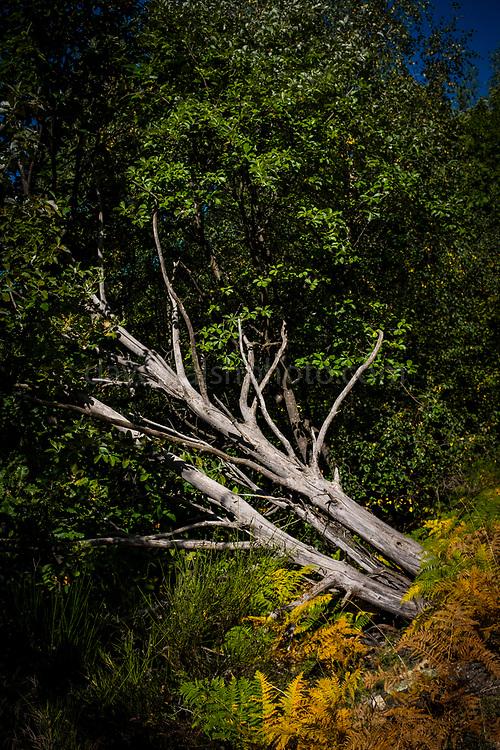 Fallen tree on Canigou mountain, Vernet Les Bains