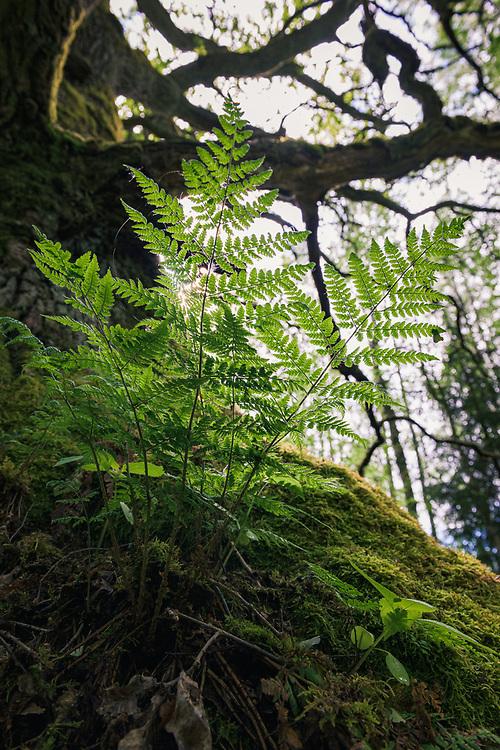 "Spreading Wood Fern (Dryopteris expansa) spreads its leaves on old moss overgrown oak tree (Quercus robur)  in summer, ""Nature reserve"" Vidusburtnieks, Latvia Ⓒ Davis Ulands   davisulands.com"