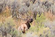 Rocky Mountain Elk in Habitat