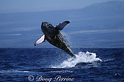 humpback whale, Megaptera novaeangliae, breaching, Hawaii Island, #4 in sequence of 6; caption must include notice that photo was taken under NMFS research permit #587