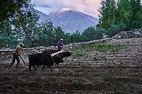 Tadjikistan, Asie centrale, Gorno Badakhshan, Haut Badakhshan, le Pamir, vallée du Wakhan, labourage dans le village de Yamtchun // Tajikistan, Central Asia, Gorno Badakhshan, the Pamir, Wakhan valley, tillage on the village of Yamtchun