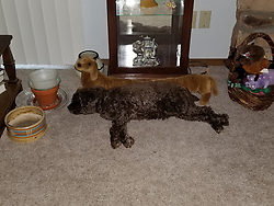 A cocker spaniel lies against a dog shaped draft dogger in front of a curio cabinet filled with doll dishes and tea sets.  Flooring is carpeted and has flower pots and candle holders