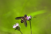 A great example of mimicry, this drone fly in the Lake Talquin State Forest in North Florida - which appears at first to be a bee - feeds on nectar of wildflowers, and is especially fond of asters. Native to Europe, but naturalized in the US and Canada.