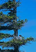 Bonaparte's gull (Chroicocephalus philadelphia)<br />Churchill<br />Manitoba<br />Canada