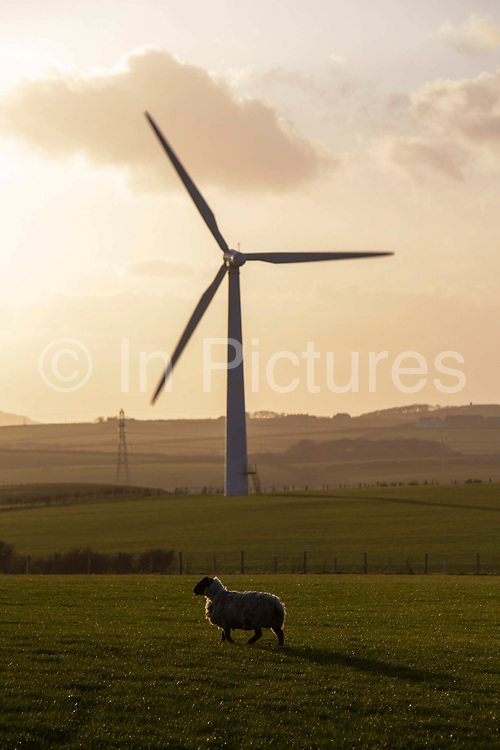 Sheep grazing in front of wind turbines on Llyn Alaw Wind Farm in full electricity production during the tail end of Storm Dennis on 17th February 2020 in Anglesey, Wales, United Kingdom. Llyn Alaw Wind Farm is located on Anglesey in North Wales, it consists of 34 turbines with a capacity of 20.4 MW mega watts and can produce an average 60,000 kilowatt hours KWh each year. This is enough to provide electricity for 14,000 homes in the local community.