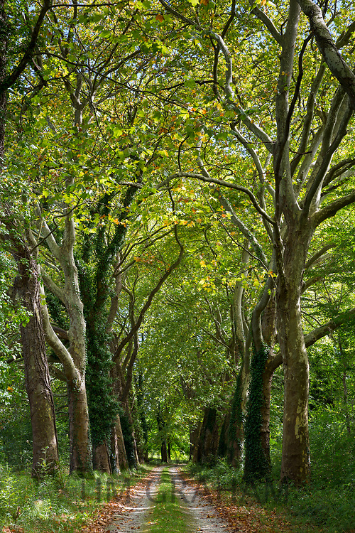 Avenue of tall plane trees and looming canopy of branches on road to nowhere in Aquitaine France