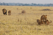 A pride of lions including a mating male and female with a lioness and her cubs (Panthera Leo) walk together through the grass, Savuti, Botswana