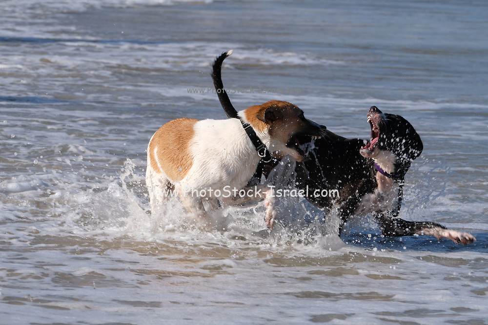 2 playful dogs playing and fighting on a beach