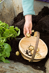 Harvesting early forced potatoes