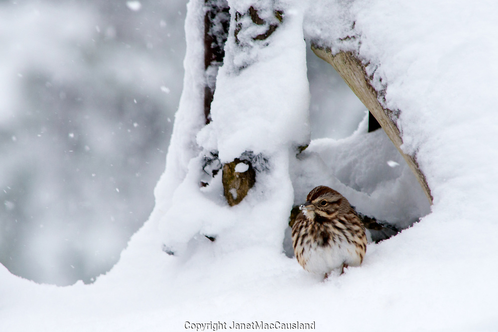 A Sparrow (Melospiza melodia) huddles in the Snow. A snowflake rests on its beak.