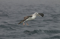 Grey-headed Albatross (Thalassarche chrysostoma) in flight.  Coming in for landing on the water.<br />Elsehul, South Georgia