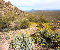 Wildflowers on Raggedtop in the Silverbell Mountains west of Tucson