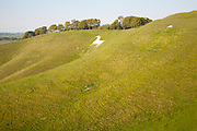 White horse in chalk scarp slope Cherhill, Wiltshire, England, UK dating from 1780
