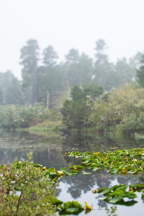 Lily pads on pond. Bluebill Lake, Oregon