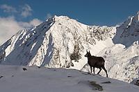01.11.2008.Chamois (Rupicapra rupicapra) in alpine landscape..Gran Paradiso National Park, Italy