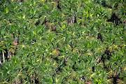 Mauritia (Moriche) Palm (Mauritia flexuosa)<br /> Savanna<br /> Miconi Mahaica<br /> GUYANA<br /> South America<br /> Used for thatching