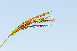 Seds on distinctive stem of Eastern gamagrass framed against blue sky on the Daphne Prairie, a remnant of the Blackland Prairie, Mount Vernon, Texas, USA.