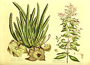 Stepelia hirsuta [Hairy Stapelia or Carrion Flower] Spiraea trifoliata [Common Three-Leaved Spiraea] from Vol II of the book The universal herbal : or botanical, medical and agricultural dictionary : containing an account of all known plants in the world, arranged according to the Linnean system. Specifying the uses to which they are or may be applied By Thomas Green,  Published in 1816 by Nuttall, Fisher & Co. in Liverpool and Printed at the Caxton Press by H. Fisher
