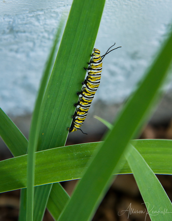 The caterpillar of a monarch butterfly in a Manitoba garden