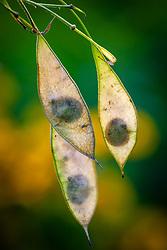 Seedheads of Lunaria rediviva. Perennial hinesty