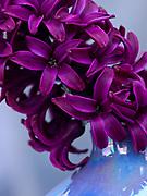 Hyacinthus - hyacinth