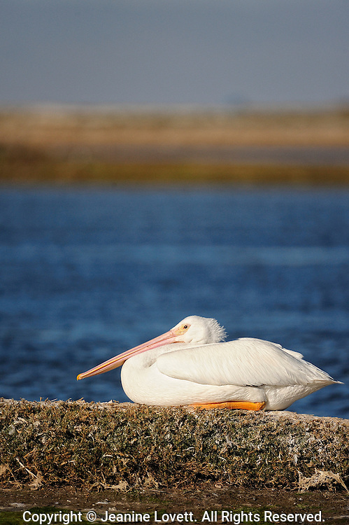 White Pelican sitting with water background.