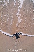 leatherback sea turtle hatchling, Dermochelys coriacea, entering ocean, Juno Beach, Florida, USA ( Western Atlantic Ocean )