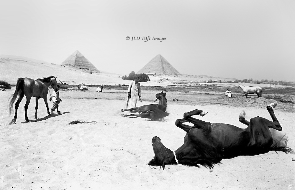 Saddle horses rented from the MG stables in Giza are given a rest and a roll in the sand after being ridden.   Several horses are seen with their attendants, two rolling, one standing, one being led.  One horse in the foreground clearly enjoying his roll and back scratch.