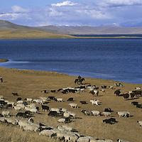 MONGOLIA, Darhad Valley. A herder tends his flocks next to Dood Nuur lake.