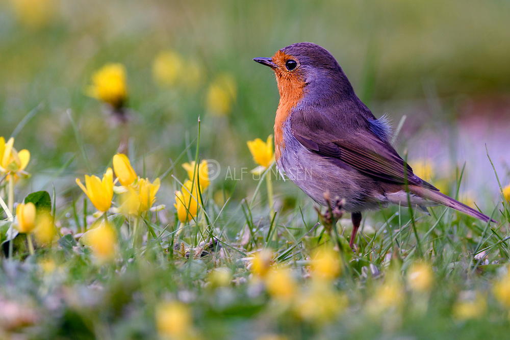 European robin (Erithacus rubecula) from Hidra, south-western Norway in May.