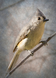 A Tufted Titmouse In A Tree With A Textured Blue Backdrop
