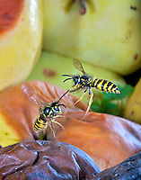 European wasps in flight (Vespula germanica), Switzerland<br /> <br /> Insect in Flight, High Speed Photographic Technique Image by Andres Morya