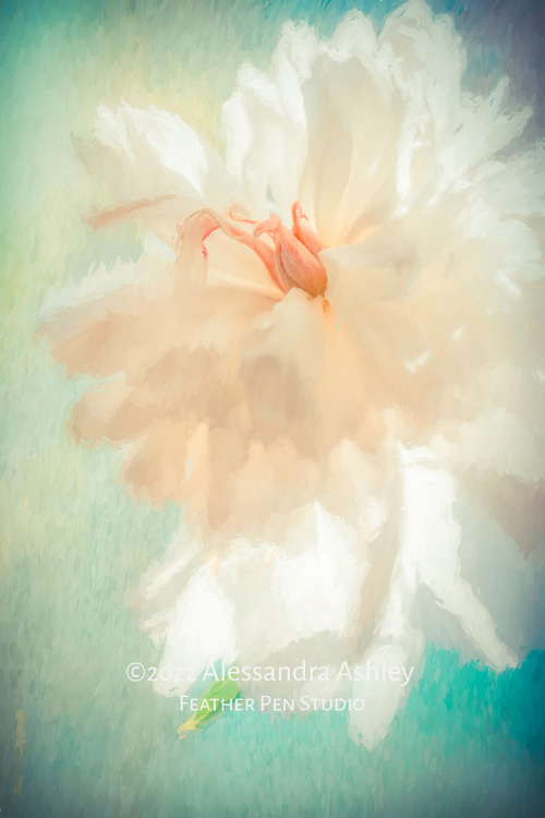 Giant white Festiva Maxima peony, with translucent petals backlit by window light.  Painted effects blended with original photograph.