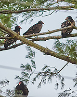 Turkey Vulture (Cathartes aura). Image taken with a Nikon D3 camera and 300 mm f/2.8 VR lens.