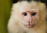 White-faced Capuchin, Cebus capucinus