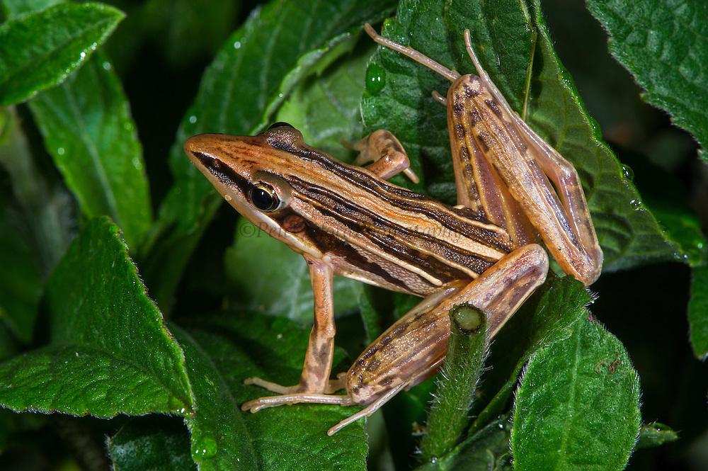 Grass frog<br /> Lango Bai<br /> Republic of Congo (Congo - Brazzaville)<br /> AFRICA
