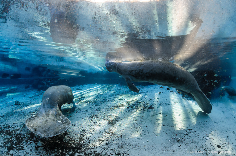 Florida manatee, Trichechus manatus latirostris, a subspecies of the West Indian manatee, endangered. A series of manatees gathering near the warm springs during the bitter cold period of early January 2010. Two skinny adult manatees rest as one takes a breath in the warm shallow blue spring water lit by strong warming sun rays. Another manatee forages in the background surrounded by fish, bream, Lepomis spp. Manatees need these natural warm springs to survive cold weather, like today. Horizontal orientation with blue water and strong warming sun rays with reflection. Three Sisters Springs, Crystal River National Wildlife Refuge, Kings Bay, Crystal River, Citrus County, Florida USA.