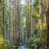 Marysville. Australia. The 'Black Spur' is an iconic stretch of road which bisects the Yarra Ranges between Healesville and Marysville. Its lazy curves wind around soaring majestic mountain ash trees that appear to reach the heavens; seemingly hugging and guarding the winding road as you drive through.