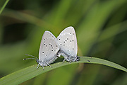 Small Blue Butterfly, Cupido minimus, mating
